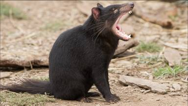 ctv-a1x-demonio-de-tasmania